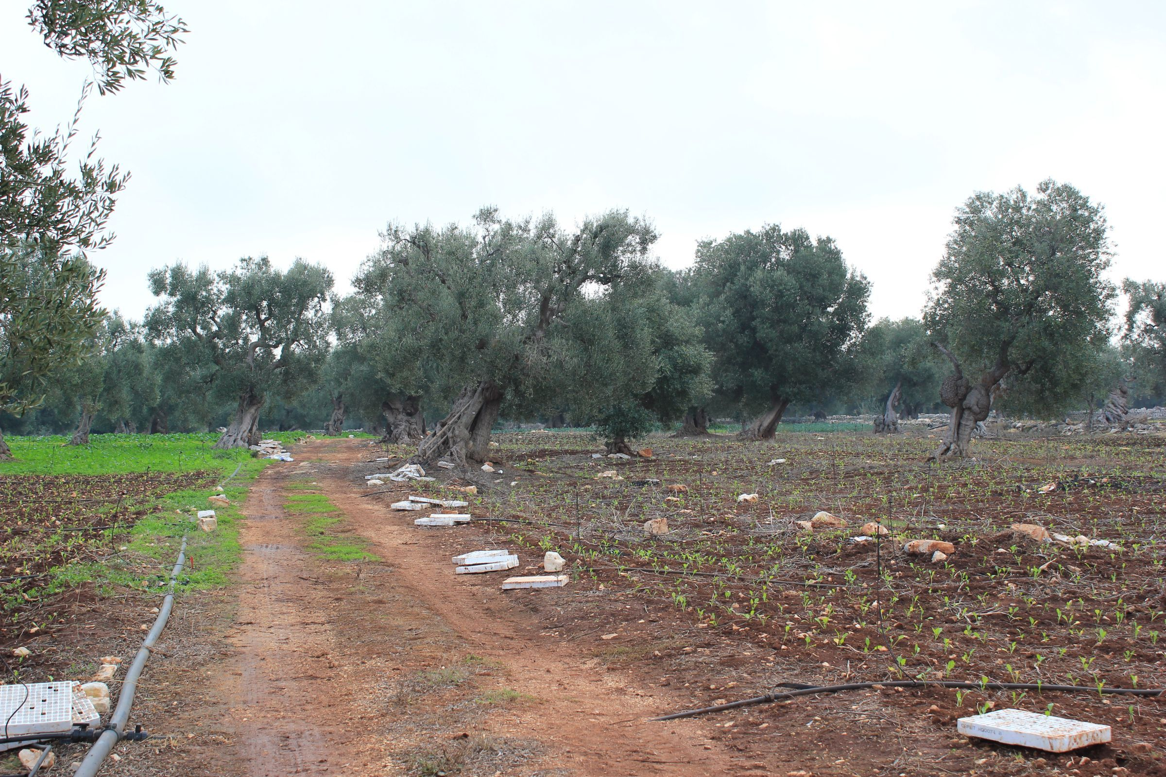 oliveto secolare - for sale - secular olive grove - puglia